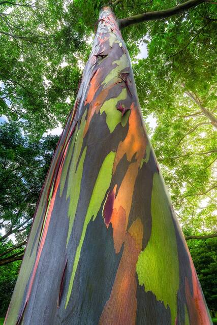 Hawaii Rainbow Eucalyptus Tree Photography