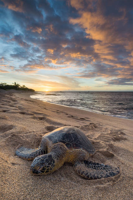 Hawaii Sea Turtles and Animal Landscape Photography.