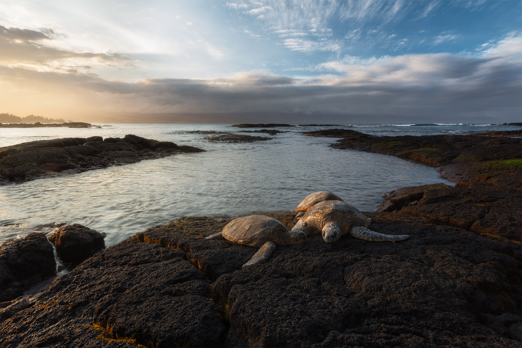 In this photo 3 Honu (Hawaii green sea turtles) rest on the warm lava rock during sunset. The dramatic clouds made for a compelling...
