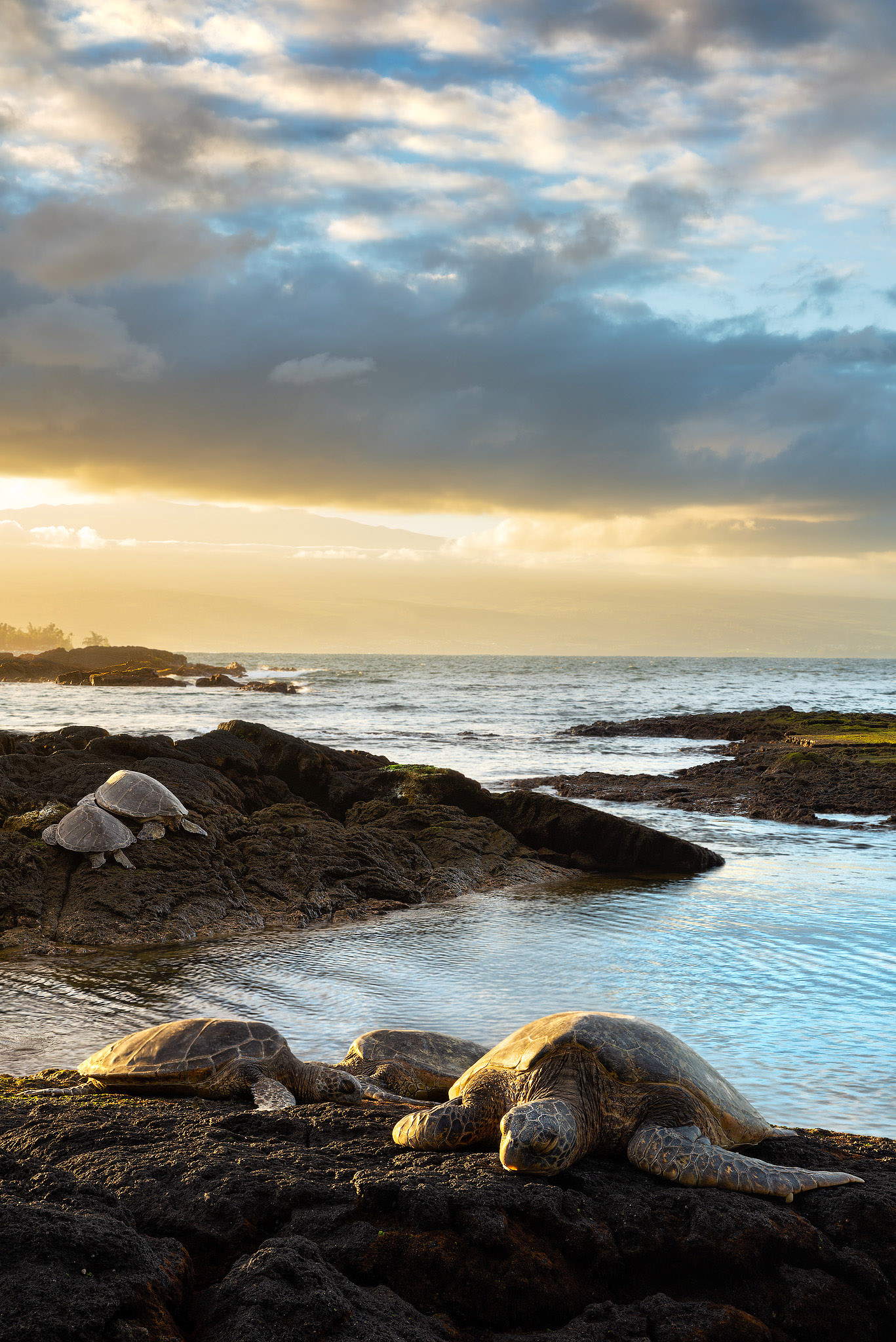 In this photo 5 Honu (Hawaii green sea turtles) rest on the warm lava rock during sunset. The dramatic clouds made for a compelling...