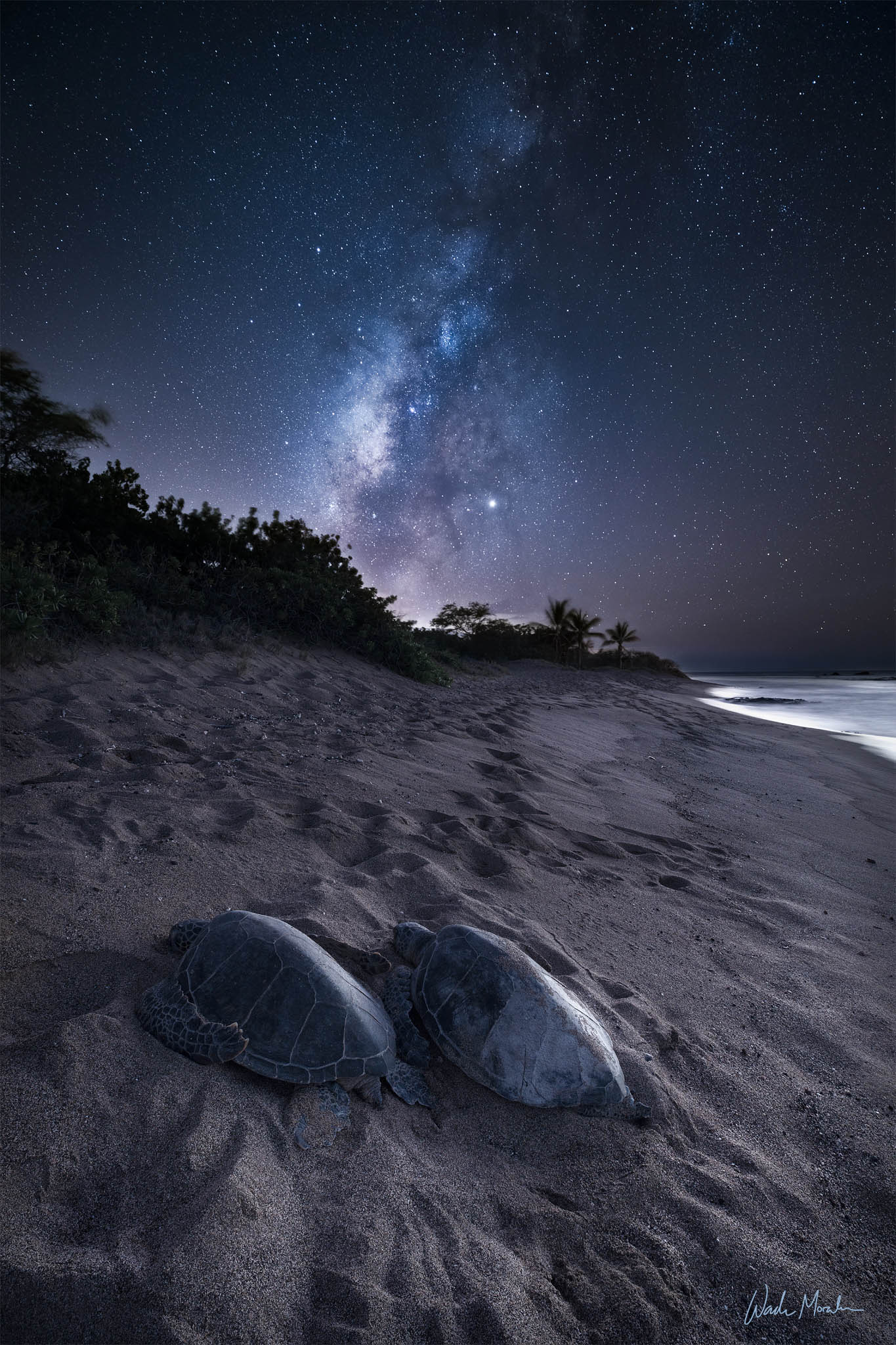 When the lights go out and everyone leaves the beach, these amazing Honu (hawaiian green sea turtles) make their way onto the...