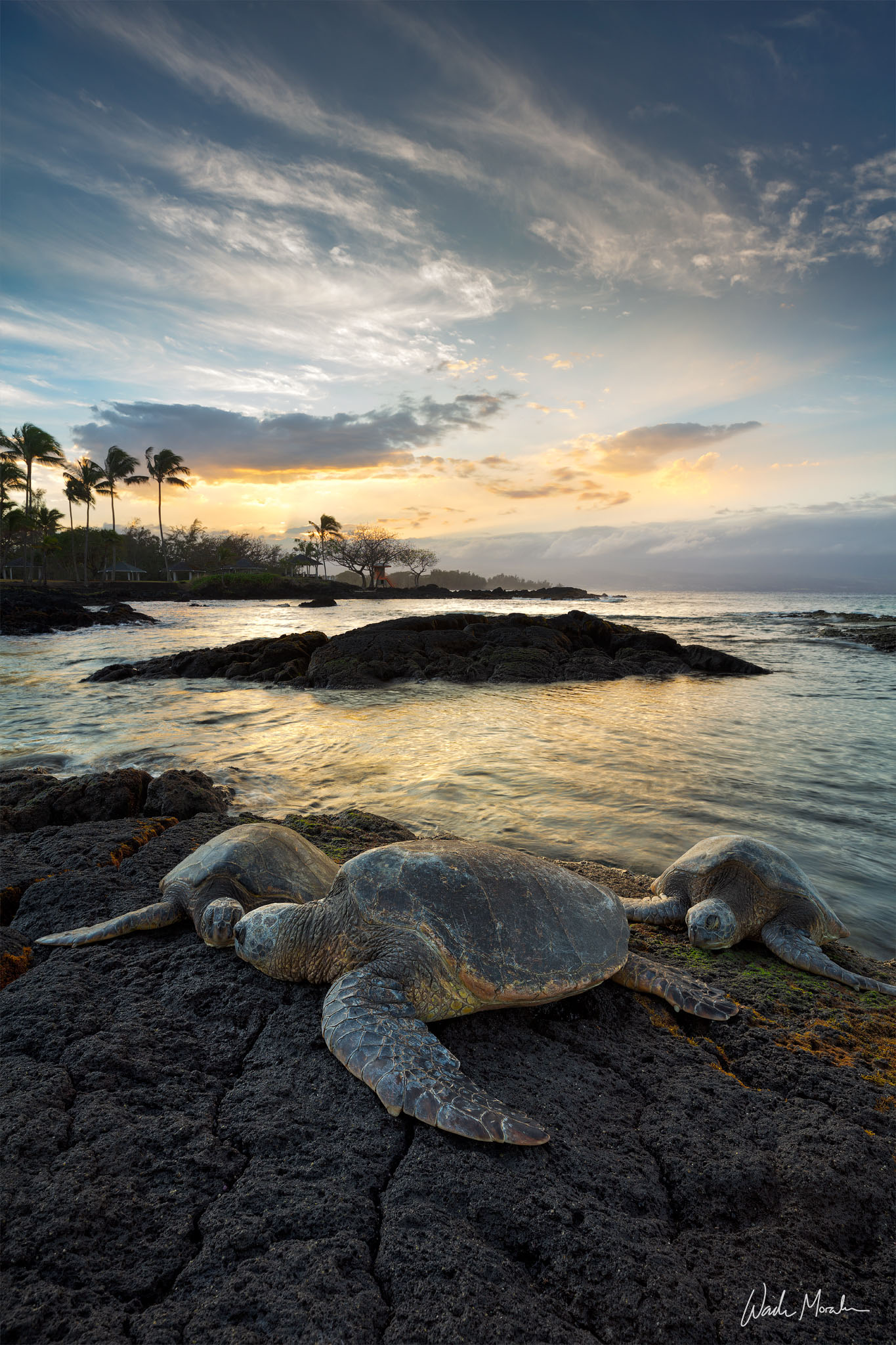 In this image, I photographed 3 beautiful honu (hawaiian green sea turtles) resting after a long day in paradise. This image...