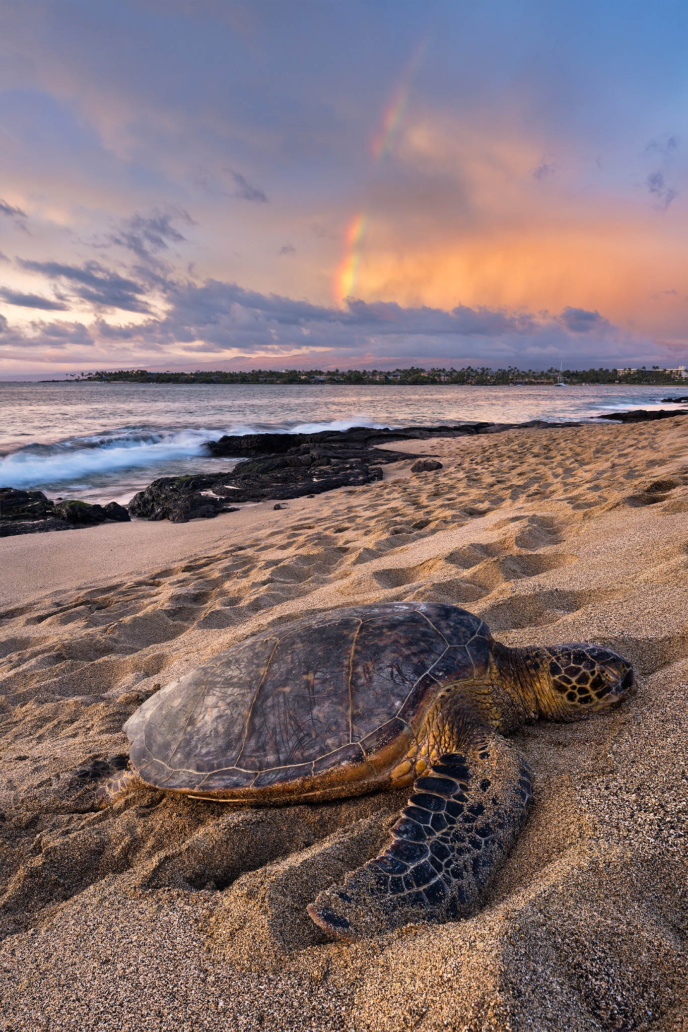 A Honu (Hawaiian Green Sea Turtle) rests after a long day on the west side of the Big Island. In this image, a beautiful rainbow...