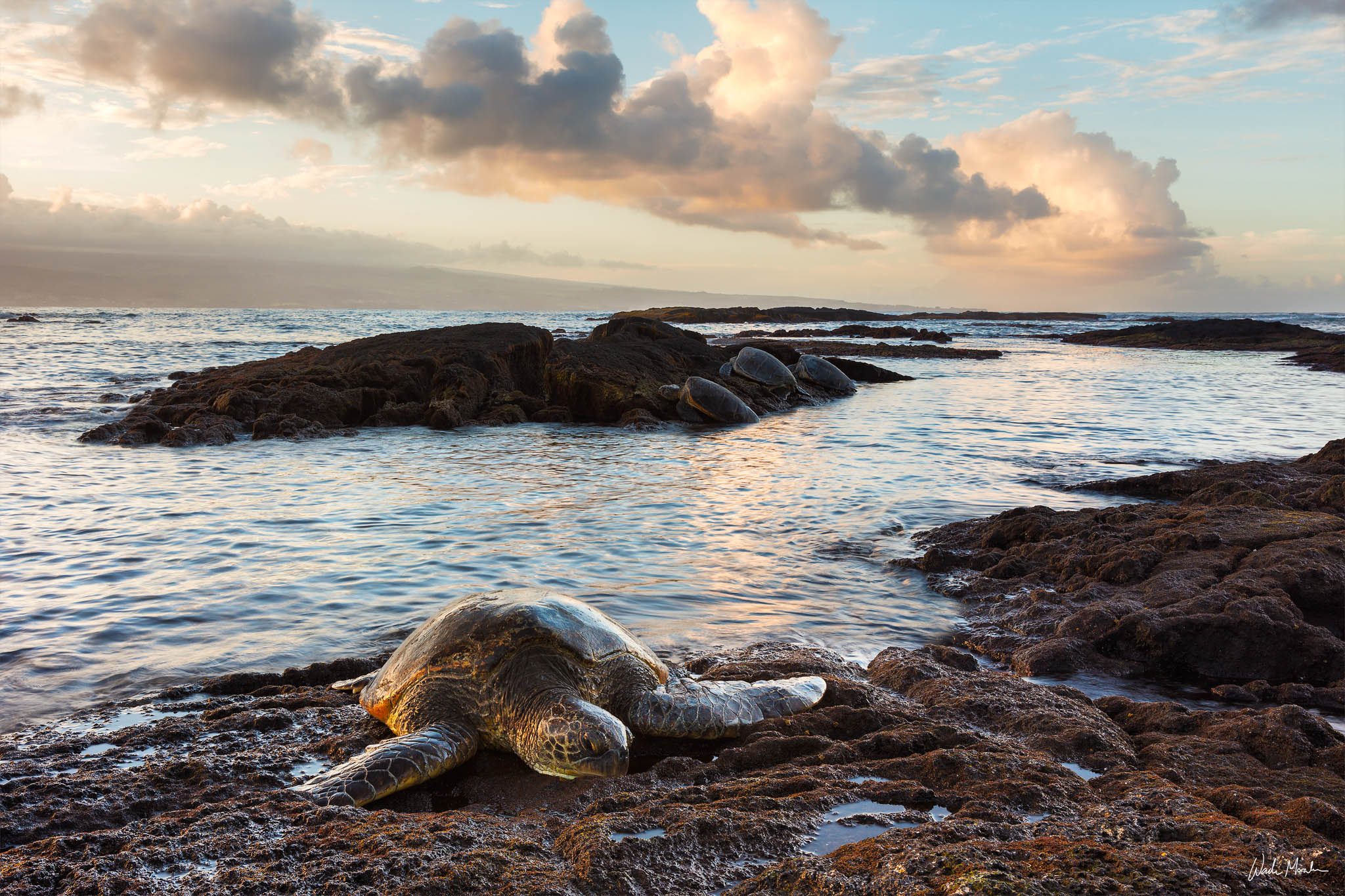 In this image, I photographed 4 beautiful Honu (hawaiian green sea turtles) resting after a long day in paradise. This image...