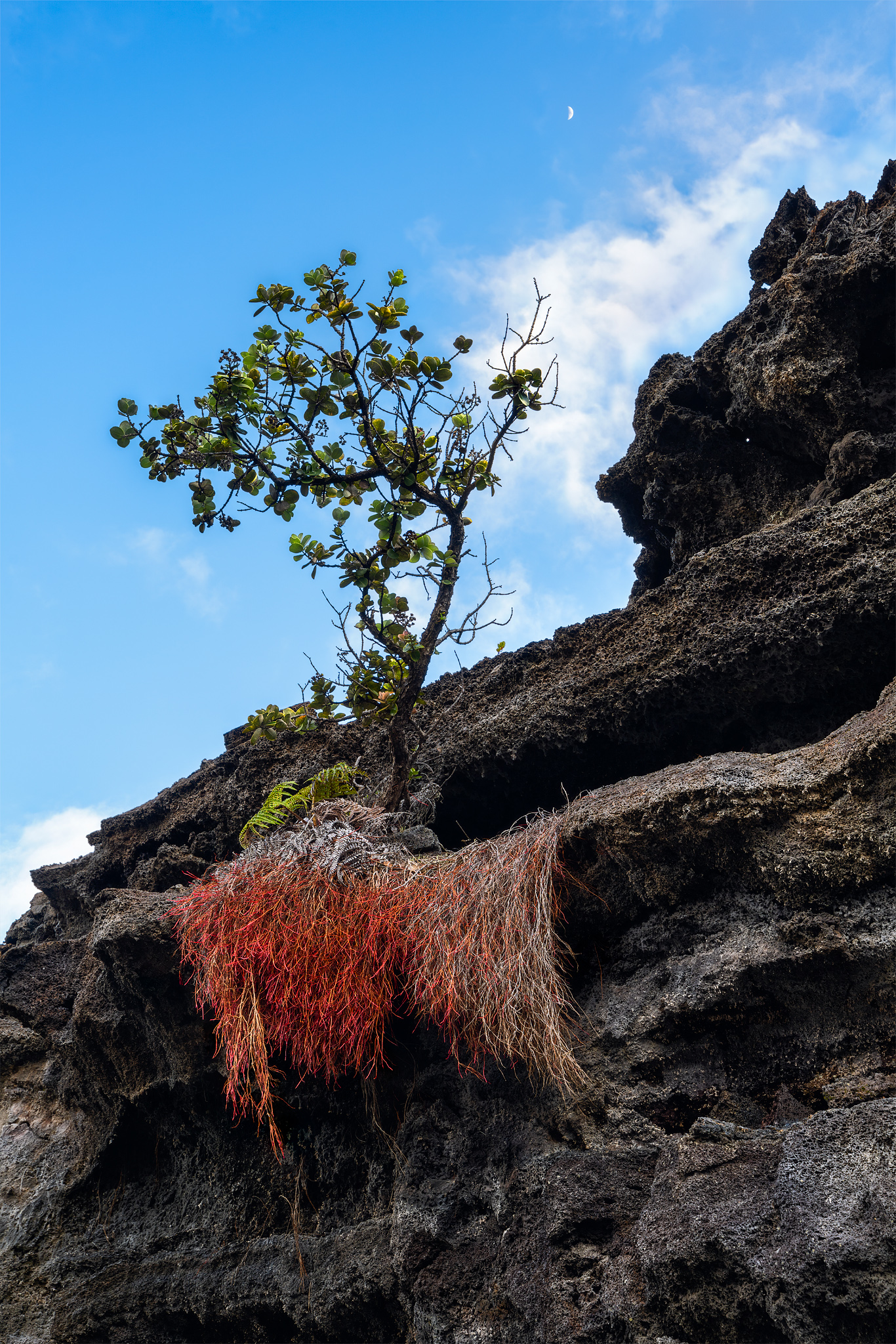 In this photo a small ohia tree hangs off a shelf of lava on the crater floor at Kilauea Iki. Kilauea Iki is a pit crater in...