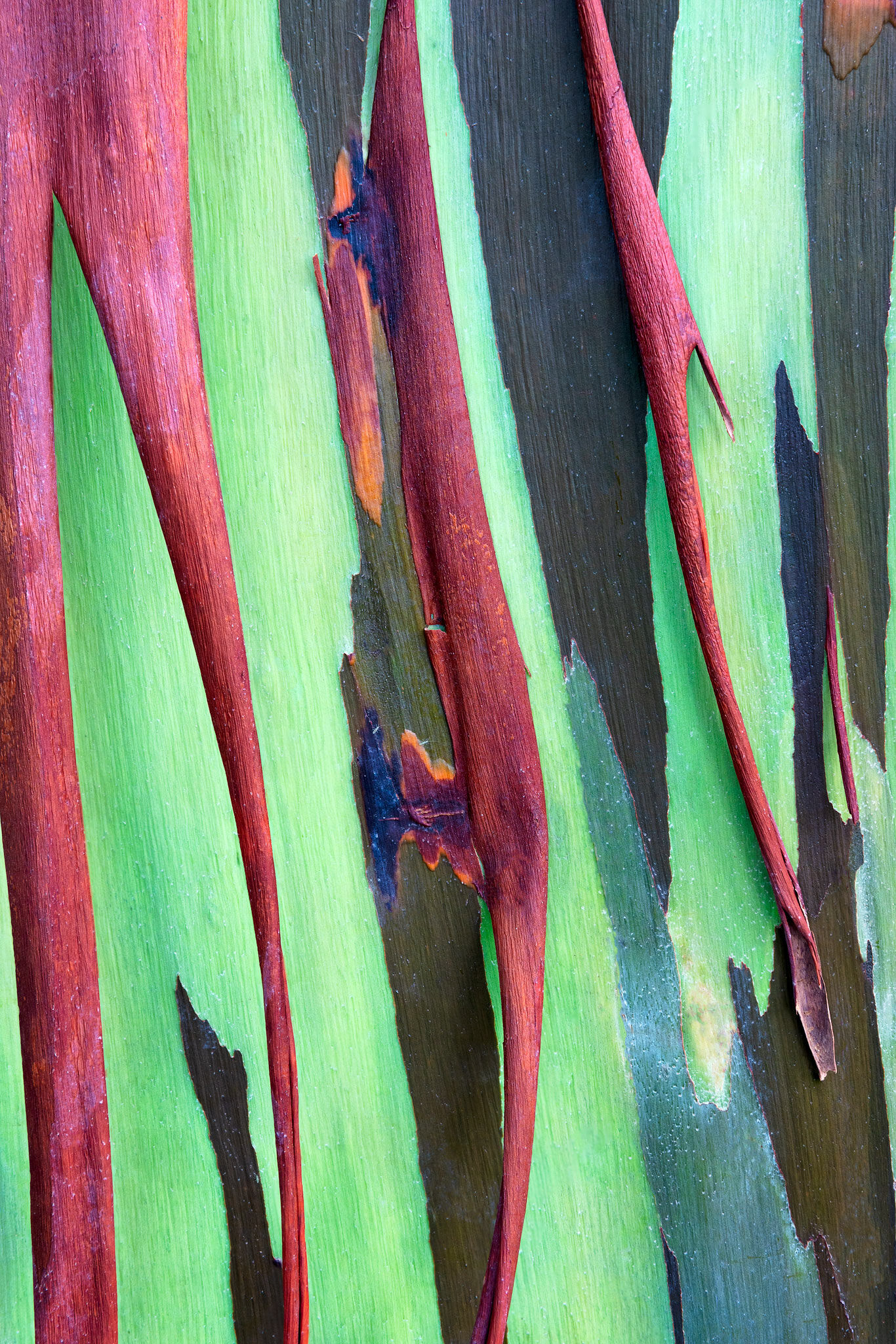 This image is part of my abstract series of rainbow eucalyptus trees. As these incredible trees grow and the old bark peels away...